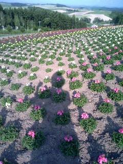 北海道旅行5 お花畑と私