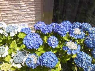 我が家のイキイキ紫陽花
